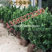 江苏宿迁低价急售H30-40-50公分大叶黄杨绿篱...