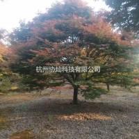 浙江杭州供应精品红枫10/12/13/14/15/...