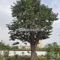 浙江杭州供应精品15-40公分柿子树出售