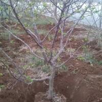 山西运城山楂树地径10公分米径8公分山楂树图片·8...