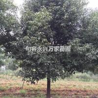 江苏镇江供应优质精品苗圃香樟.丛生香樟
