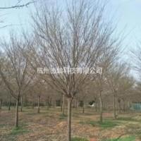 浙江杭州18公分榉树/19公分榉树/20公分榉树/...