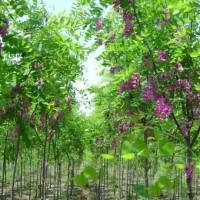 江苏宿迁绿化苗紫叶李、木槿、香花槐、棕榈、马褂木