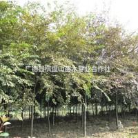 安徽宣城榉树 12-13-14cm