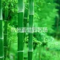 浙江杭州供应竹子、刚竹、毛竹、淡竹、紫竹