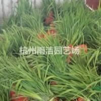浙江杭州供应黄菖蒲