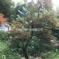 浙江杭州原生羽毛枫12公分原生羽毛枫15公分原生羽...