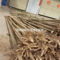 河南许昌河南鄢陵供应3-16公分精品国槐