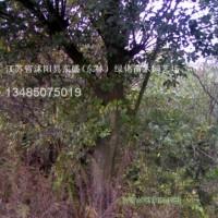 江苏宿迁榉树.樱花.垂柳.蜀桧、龙柏、合欢.栾树....