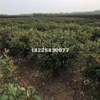 合肥1米到1.5米红叶石楠球,安徽