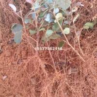 桂林红继木芽苗,高度10-15公分...