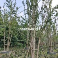 成都成都上成园林供应米径40-65...