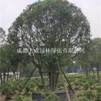 成都丛生银桂(4-5杆)丛生银桂(...