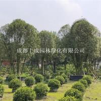 成都供应米径35公分丛生金桂(5杆...