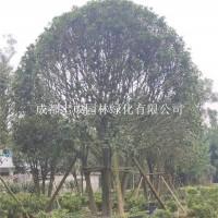 成都供应丛生桂花(米径35-40公...