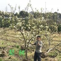 嘉兴梨树,翠冠梨供应梨树