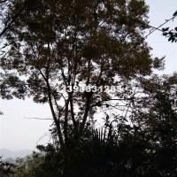 桂林出售朴树,丛生朴树,供应国槐,