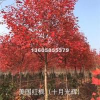 绍兴美国红枫 (十月光辉)美国红枫...