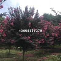 绍兴天鹅绒紫薇价格信息  华东地区