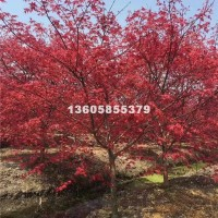 绍兴供应红枫 树形好  价格优惠 ...