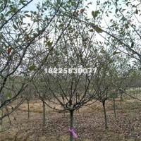 合肥垂丝海棠6-8公分