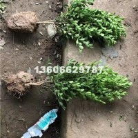 杭州供应各种规格的瓜子黄杨小毛球