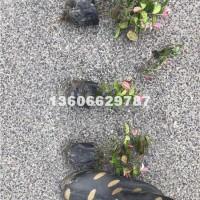 杭州供应花叶络石小杯苗 低价出售