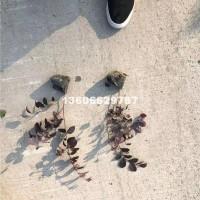 杭州供应各种规格的红花继木小杯苗 ...