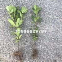 杭州供应海桐地苗 价格低