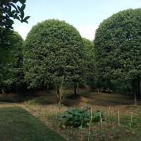 四川成都桂花树、绿化工程、苗木、景观园林