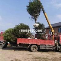 合肥供应各种规格的桂花树 树形好 ...