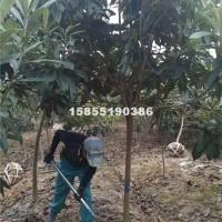 合肥供应枇杷树 最新枇杷树价格信息