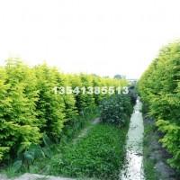 成都供应优质金叶水杉2-6公分,数...