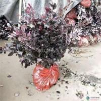 杭州红花继木地栽苗