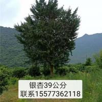 桂林银杏树