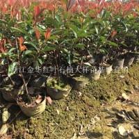 金华供应50—60高度优质红叶石楠