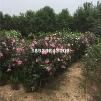 宿迁50-180冠幅优质木槿丛生 ...