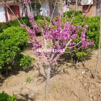宿迁1-6公分粗优质紫荆树  江苏