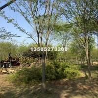 宿迁供应红榉树2-18公分榉树价格...