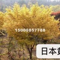 绍兴日本黄金枫最新价格