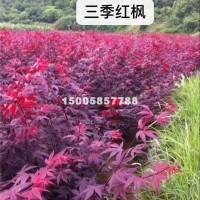绍兴三季红枫新苗价格优惠,浙江货源