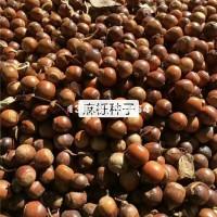 九江供应麻栎种子 价格低 江西直发