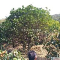 桂林广西柚子树