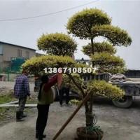 杭州供应优质金禾女贞造型树,金禾女