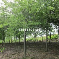 宿迁供应榉树 榉树优惠卖