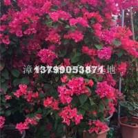 漳州福建三角梅价格便宜卖