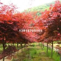 宿迁供应美国红枫 树形优美 价格低