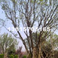 宿迁供应山杏 杏树 最新价格信息表