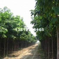 宿迁供应各种规格楸树 价格低 品种
