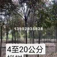 镇江榉树4-20公分